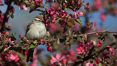 Chipping Sparrow - 16x9 (tanglechu) Tags: animal bird massachusetts middlesex cambridge chippingsparrow mountauburncemetary sparrow