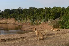 10077924 (wolfgangkaehler) Tags: 2016africa african eastafrica eastafrican kenya kenyan masaimara masaimarakenya masaimaranationalreserve wildlife mammal bigcat predator predatory bigfive lionpantheraleo lioness femaleanimal lionesses marariver riverbank