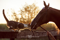 shelleypaulson_2013_482 (Shelley Paulson) Tags: backlight cat chain equine halter horse horsesaddlebred
