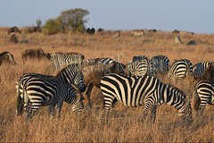 10078100 (wolfgangkaehler) Tags: 2016africa african eastafrica eastafrican kenya kenyan masaimara masaimarakenya masaimaranationalreserve wildlife grassland grasslands migration migrating antelope antelopes gnu wildebeestmigration wildebeest wildebeestherd wildebeests zebras plainszebrasequusquagga burchellszebra burchellszebraequusquagga burchellszebras