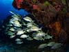 Palancar Reef (jcl8888) Tags: nikon d7200 cozumel mexico marine travel vacation adventurescuba fisheye tokina 1017mm underwater reef fish school alive life adundant diving sea ocean saltwater