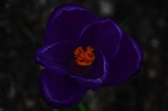 extreme survival (Carly Sabatino) Tags: ri flower macro nature beauty up yellow living close purple warren