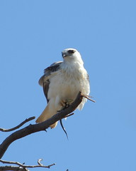 Black-shouldered Kite with breakfast at Herdsman Lake (WA47) Tags: australia raptor westernaustralia blackshoulderedkite accipitridae herdsman elanus accipitriformes elanusaxillaris herdsmanlake herdsmanlakeregionalpark