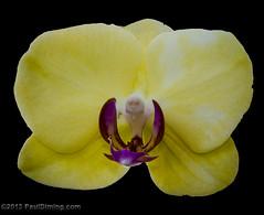 Yellow Moth Orchid @ Lewis Ginter Botanical Garden - Richmond, VA (Paul Diming) Tags: winter virginia unitedstates richmond phalaenopsis phal richmondvirginia flowersplants mothorchid lewisginter henrico lewisginterbotanicalgarden d7000 pauldiming 2013livinginmidlothian
