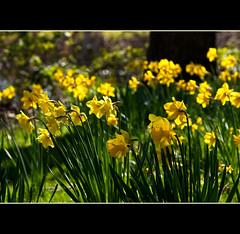 Daffodil-o-rama (Prestidigitizer) Tags: flowers yellow backlight garden spring blossom bokeh victoria daffodil bloom hatleycastle pentaxk10d pentaxda50135mm mygearandme mygearandmepremium mygearandmebronze mygearandmesilver mygearandmegold ringexcellence dblringexcellence photographyforrecreation