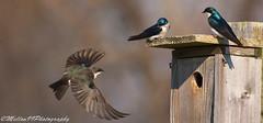 Tree Swallows (Mellon 99) Tags: wild bird nature birds animals canon outdoors photography wings wildlife flight feathers national bombay delaware avian nwr bombayhook bombayhooknwr nationalwildliferefuges mellon99photography