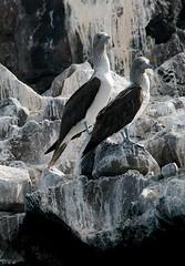 Isla Espiritu Santo, B.C.S. (Pablo Leautaud.) Tags: mexico aves bajacaliforniasur isla lapaz bcs espiritusanto pleautaud