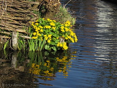 Dotterbloem ( Annieta  Off / On) Tags: plant flower holland reflection nature water netherlands fleur yellow jaune canon ditch nederland natuur powershot gelb giallo april fiore geel allrightsreserved sloot bloem reflectie krimpenerwaard dotterbloem supershot 2013 annieta usingthisphotowithoutpermissionisillegal mygearandme blinkagain sx30is marhmarigold sumpdotterblume populagedemarais