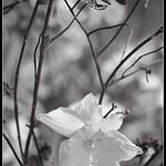 Daffodil thumbnail