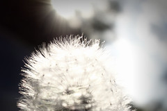 warm n fuzzy (lucymagoo_images) Tags: sun motion blur macro texture sunshine closeup movement blurry warm soft bright wind sony dream dandelion overexposed dreamy rays backlit streaks spores glisten rx100