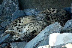 Nubo Makes a Great Pillow 2 (MrGuilt) Tags: cats animals cincinnati cincinnatizoo snowleopards afsdxzoomnikkor55200mmf456ged