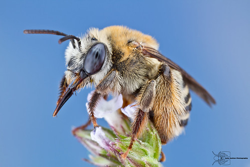 Long-horned Bee - Melissodes sp.