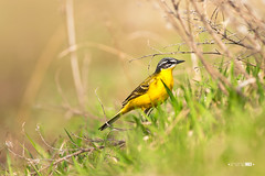 Searching (Emyan) Tags: portrait bird nature grass animals canon spring motacillaflava westernyellowwagtail