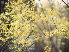 On a warm spring day (AndreaKamal.com) Tags: nature spring blossom blossoms forsythia frühling forsythie goldglöckchen goldflieder