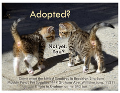 Adopted? (lisacat) Tags: nyc cats brooklyn north kittens williamsburg gothamist greenpoint muddypaws nycacc adoptionevent bottlebabies