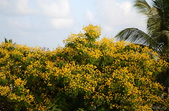 The color Yellow (Shomirroy) Tags: flower yellow copperpod nikond5100