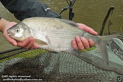 Bream - Abramis brama (puffinbytes) Tags: greatbritain england animals unitedkingdom carps bream eastsussex animalia minnows cyprinidae cypriniformes chordates chordata actinopterygii rayfinnedfishes abramis abramisbrama taxonomy:kingdom=animalia taxonomy:phylum=chordata taxonomy:class=actinopterygii taxonomy:family=cyprinidae taxonomy:order=cypriniformes leuciscinae spb:country=uk spb:lid=00ao spb:id=01f5 spb:species=abramisbrama spb:pty=f taxonomy:subfamily=leuciscinae taxonomy:genus=abramis taxonomy:species=brama taxonomy:binomial=abramisbrama taxonomy:common=bream spb:pid=0r3j