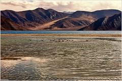 Morning Light (ZeePack) Tags: lake bird canon golden gull ladakh jammukashmir brownheadedgull lightmorning spangmik chroicocephalusbrunnicephalus indiareflection 5dmarkiipangongtso