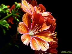 lewisia (solonanda) Tags: flowers black macro fiori fiore nero lewisia masterphotos artisticflowers takenwithlove amazingdetails mindigtopponalwaysontop lovelyflickr fleursetpaysages silveramazingdetails musictomyeyeslevel1 loveliflickr thegoldenachievement goldenachievement rememberthatmomentlevel1 rememberthatmomentlevel2 dreamlikephotos