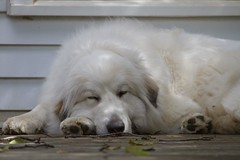 Chlo zzzzzz (POOLEworks | roger) Tags: dog greatpyrenees chlo