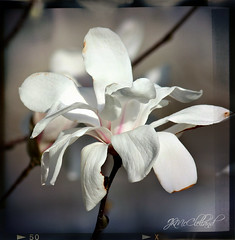 tulip tree bloom (ThroughMyEyes_JKM) Tags: white flower tree spring branch bloom tuliptree crownpointin