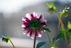 Feeling of sadness (Pensive glance) Tags: dahlia plant flower nature fleur plante wonderfulworldofflowers flowerthequietbeauty