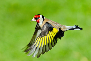 Goldfinch in flight ~ Explored