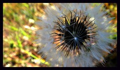 ¡Pide un deseo!/Make a wish! (Sofia Vitori) Tags: sea sky naturaleza macro primavera nature make mar spring dandelion greece cielo wish karpathos makeawish dientedeleón amoopi ilobsterit
