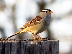 White-Crowned Sparrow (Swany6) Tags: sparrows whitecrownedsparrow feederbirds ringexcellence ringofexcellence dblringexcellence