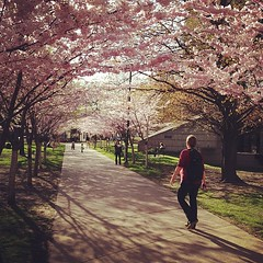 spring! (Alexandra Guerson) Tags: flowers toronto square spring universityoftoronto squareformat cherryblossoms rise robarts iphoneography instagramapp uploaded:by=instagram