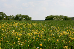 The Meadow (siebensprung) Tags: flower nature landscape spring natur may meadow wiese mai bloom blume wildflower blte landschaft frhling blhen