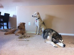the dogs (Ilja) Tags: dog alba malamute abq gradus airedaleterrier querque