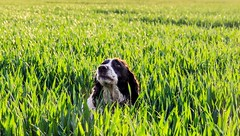 Todd 1 crop (Jez22) Tags: trees england copyright dog pet plant cute green english wet field grass animal rural landscape outdoors happy evening countryside kent cornfield looking outdoor background cereal canine scene farmland domestic crop innocence spaniel springer doggy growing agriculture breed pooch gundog jeremysage