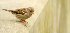 House Sparrow - Female (ColmRWPhotography) Tags: house bird nature female wow nikon wildlife small sparrow waters carsington d3100