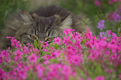 Relaxing in the Flowers (Elizabeth_211) Tags: pink flowers cute cat feline pretty tabby kitty phlox