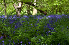 Bluebells with Ferns (nichbar) Tags: flowers wild bluebells canon surrey ferns abinger 70200f4l 50d oldsimmscopse
