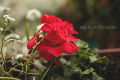 Day127 flower 5_7 (Ryan S Burkett | RSB Photography) Tags: auto people food apple car project mixed nikon gear photoaday 1750 28 365 18 50 35 tamron iphone 365project d300s