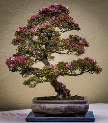 Bonsai Beauty (KPortin) Tags: bonsai wa azalea federal federalwaywa pacificrimbonsaicollection