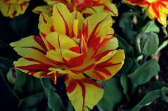 Apricot Parrot Tulip (NATIONAL SUGRAPHIC) Tags: flowers nature spring tulips parks istanbul iekler zeytinburnu doa ilkbahar yedikule laleler parklar sugraphic tulipsofturkei soanlbitkilerpark