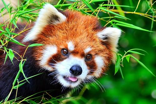 Red Panda, Umi of Nogeyama Zoo / 野毛山動物園のレッサーパンダの海くん