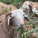 Sheep feed on leaves