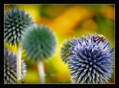 heute wird es hei !!! (karin_b1966) Tags: plant flower nature garden insect blossom natur pflanze blume blte insekt garten 2016 kugeldistel yourbestoftoday ballthistel