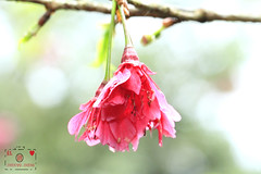 Cherry blossoms (~~ Y.C.CHEN) Tags: flower pink plant green light beautiful bokeh brown canon color 7d marco