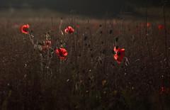 (Alice144.) Tags: poppies poppy poppyfield summer light evening wildflowers field