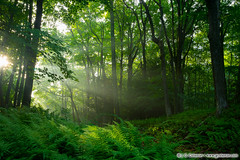 Moosehorn Woods (J. G. Coleman Photography) Tags: connecticut newengland nutmegstate southernnewengland thomaston beam beams fern ferns forest mist summer summertime sunbeams sunlight woodlands woods nature natural wild wildlands landscape sunrise morning sun green serene soothing