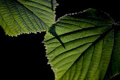 Shadow (Fraila) Tags: green leaf shadow nikond600 nikkor105mmf28gvrmicro macro simple