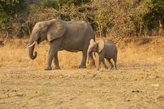 Zambia_LionCamp_274_elephant (atkiteach) Tags: zambia southluangwa safari safaricamp camp nature naturereserve holiday rural africa lioncamp southluangwanationalpark elephant elephants calf elephantcalf