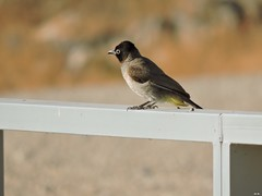 Bulbul (Shalva1948) Tags: nature birds bulbul israel