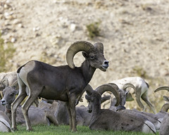 02469223-79-Desert Bighorn Sheep-2 (Jim There's things half in shadow and in light) Tags: 2016 aug bouldercity animals bighornsheep canon5dmarkiii conon70200lens park summer