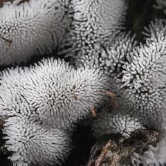 Ceratiomyxa fruticulosa (Vincent L) Tags: france poitoucharentes vienne amibozoaires fortdemoulire macro mycologie myxomycete photographie printemps protistes saison slimemould